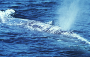 Whales Noses